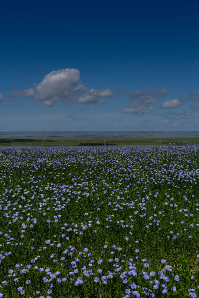 Agriculture Beauty In Nature Blue Sky Cloud Farm Field Flax Flower Freshness Growing Growth Meadow Nature No People Outdoors Plant Relaxing Moments Rural Rural Scenes Saskatchewan Sky Summer Tranquil Scene
