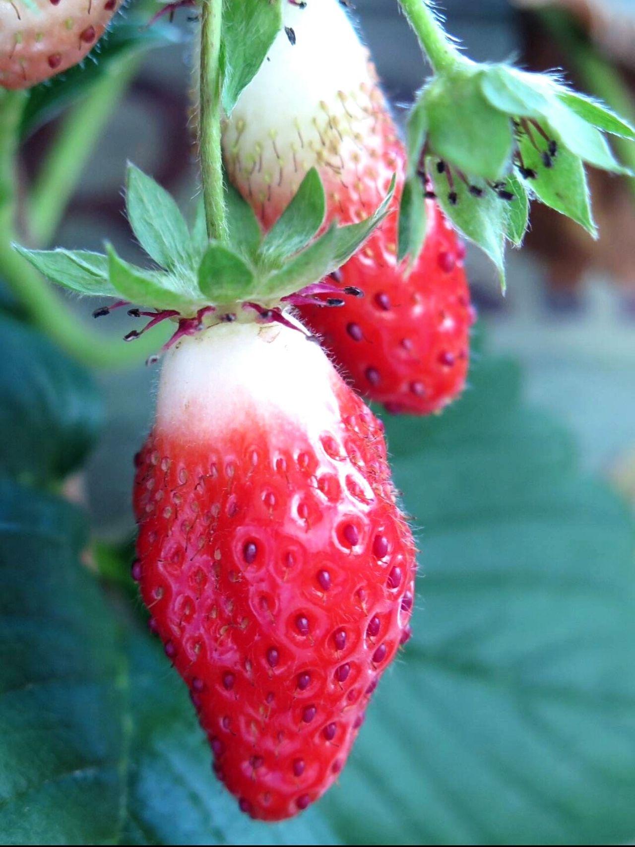 Strawberrys Fruits Sweet Tasting Beautiful Nature Nature Photography