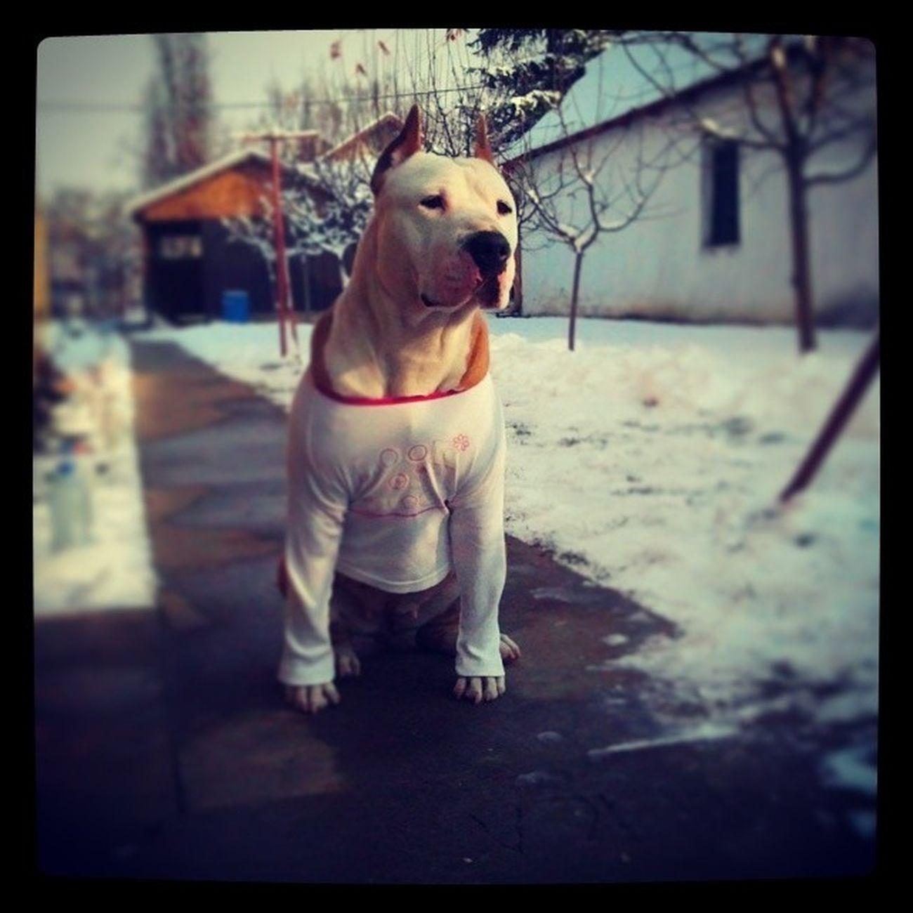 Bullybreedapbt Amstaff Pitbull Instadog winter