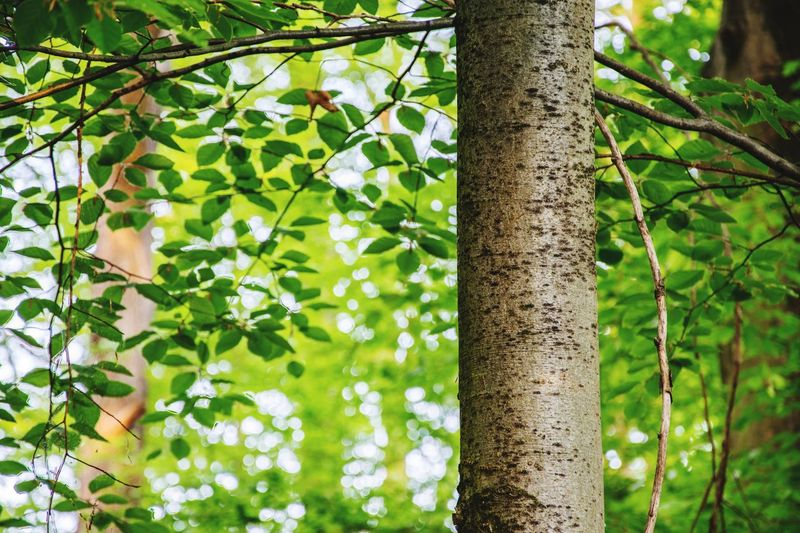 WOODY. Tree Growth Green Color Leaf Nature Day Plant Forest Outdoors No People Tree Trunk Branch Bamboo - Plant Beauty In Nature Close-up Freshness EyeEm Nature Lover