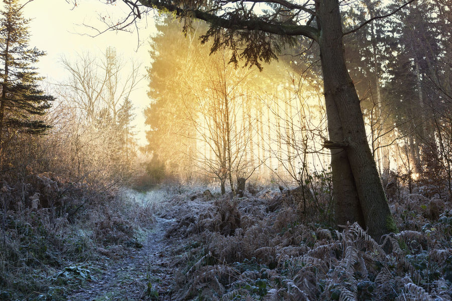 winter in the woods sun is rising Frost Frozen Hoarfrost Light Nature Nature Photography Winter Beauty In Nature Fir Trees Naturelovers No People Non-urban Scene Outdoors Scenics Sunrise Tranquility Woods