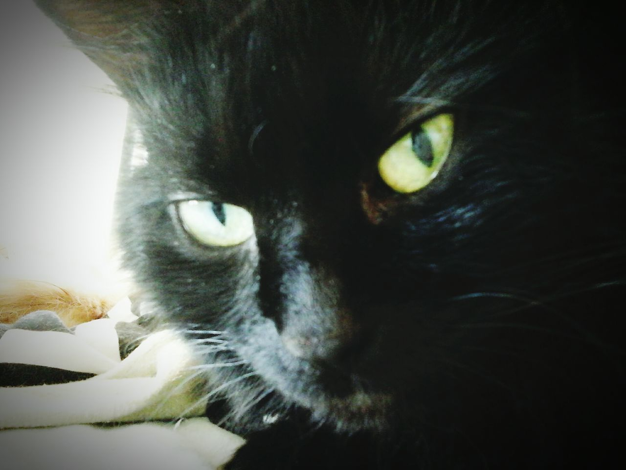 Sophia Maria❤💜❤💜 Catsofeyeem Bayareaphotography Catstarcat Animal Photography Catlovers Cat Eyes Animals Pawsome Hello World ❤️🔥❤️ Paws And Purrs Loveallanimals Blackcatbeauties Blackcats Blackcatsrule