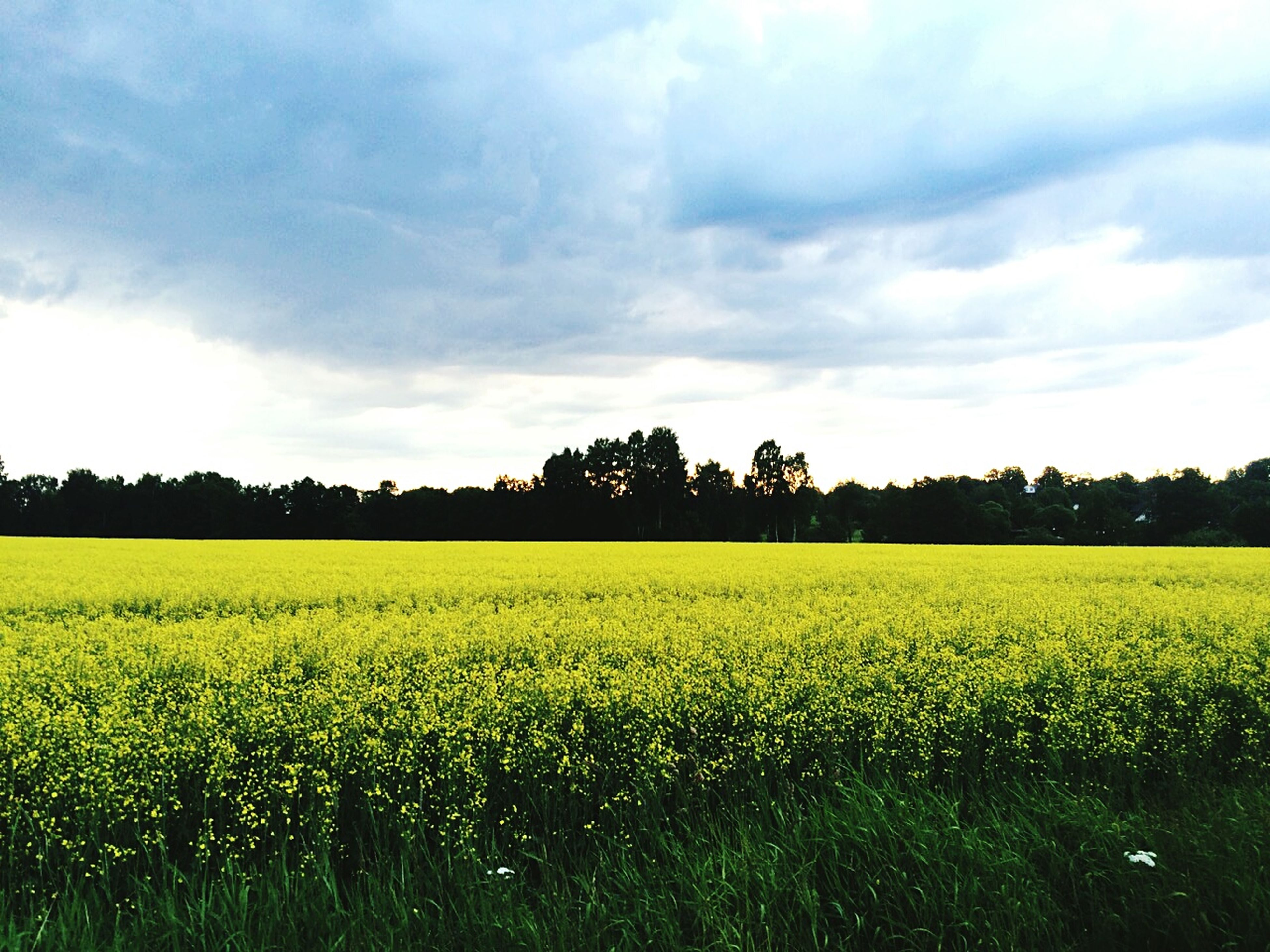 agriculture, field, tranquil scene, rural scene, landscape, tranquility, beauty in nature, growth, sky, scenics, farm, yellow, nature, crop, tree, cultivated land, cloud - sky, cloud, oilseed rape, idyllic