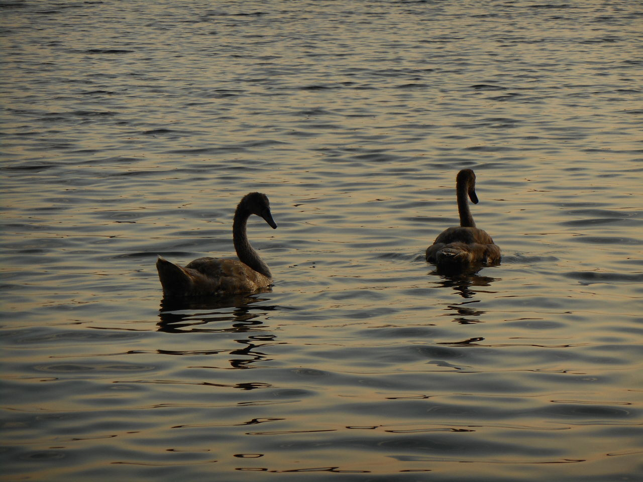 animals in the wild, animal themes, bird, lake, water, waterfront, nature, swimming, animal wildlife, no people, water bird, day, beauty in nature, outdoors, swan