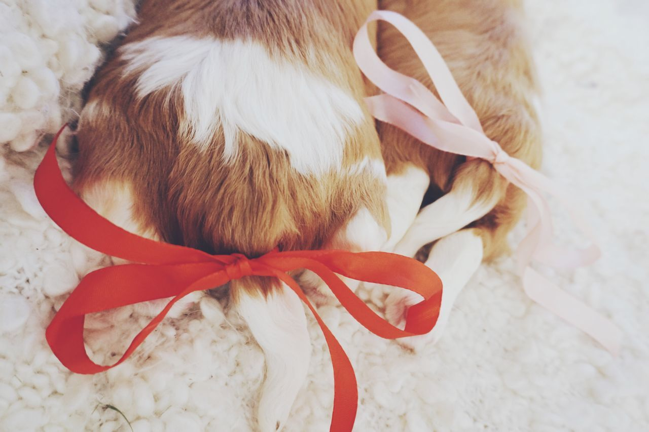 Happy tails 🎀 Red Bow Puppy Tail Puppy Love PuppyLove Puppies Dog Dogs Dogslife Doglover Cavalier King Charles Spaniel Cavalier  Ckcs Doglife