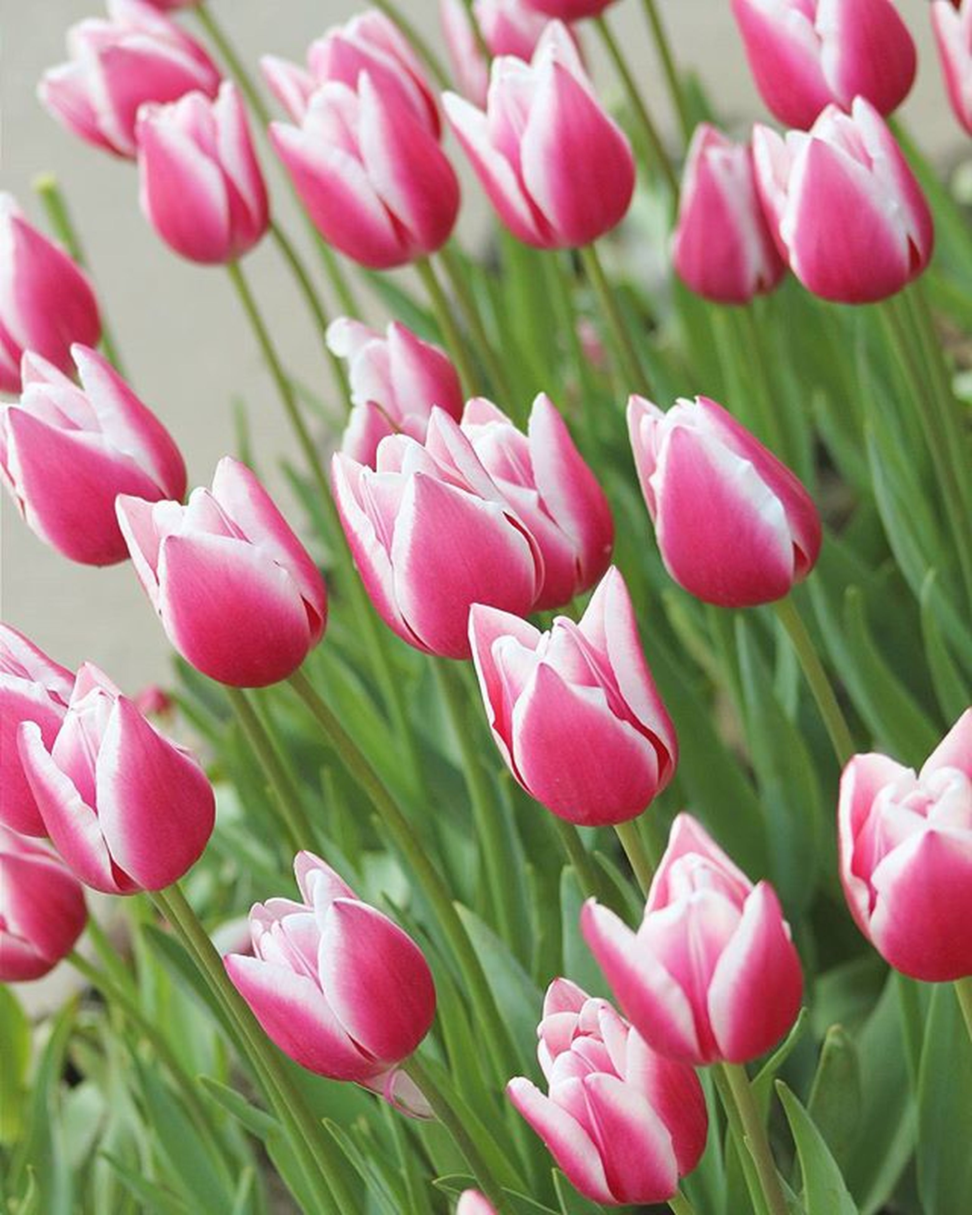 flower, freshness, growth, petal, fragility, beauty in nature, pink color, flower head, plant, nature, blooming, tulip, close-up, field, focus on foreground, stem, green color, pink, leaf, red