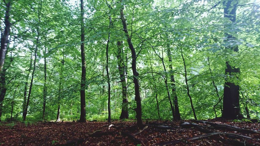 Forest Tree Tree Trunk Growth WoodLand Tranquility Scenics Tranquil Scene Nature Green Color Beauty In Nature Non-urban Scene Day Branch Outdoors Tall - High Woods Messy Tall Lush Foliage