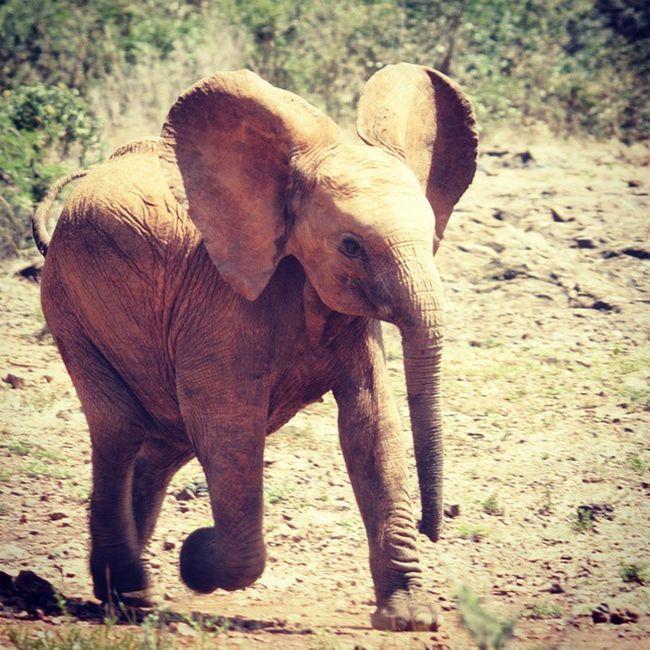 Babyelephant Africanelephant Davidsheldrick Davidsheldrickwildlifetrust Nairobi Kenya