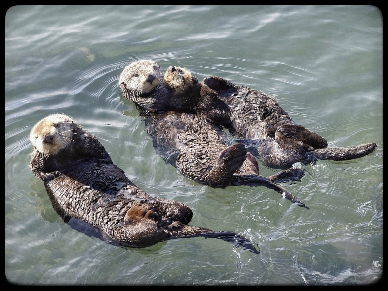 It's a family affair Animal Themes Water Swimming Animals In The Wild Nature Animal Wildlife FUJIFILM X-T1 Otters Morro Bay High Angle View No People Mammal Day Lake Outdoors Togetherness