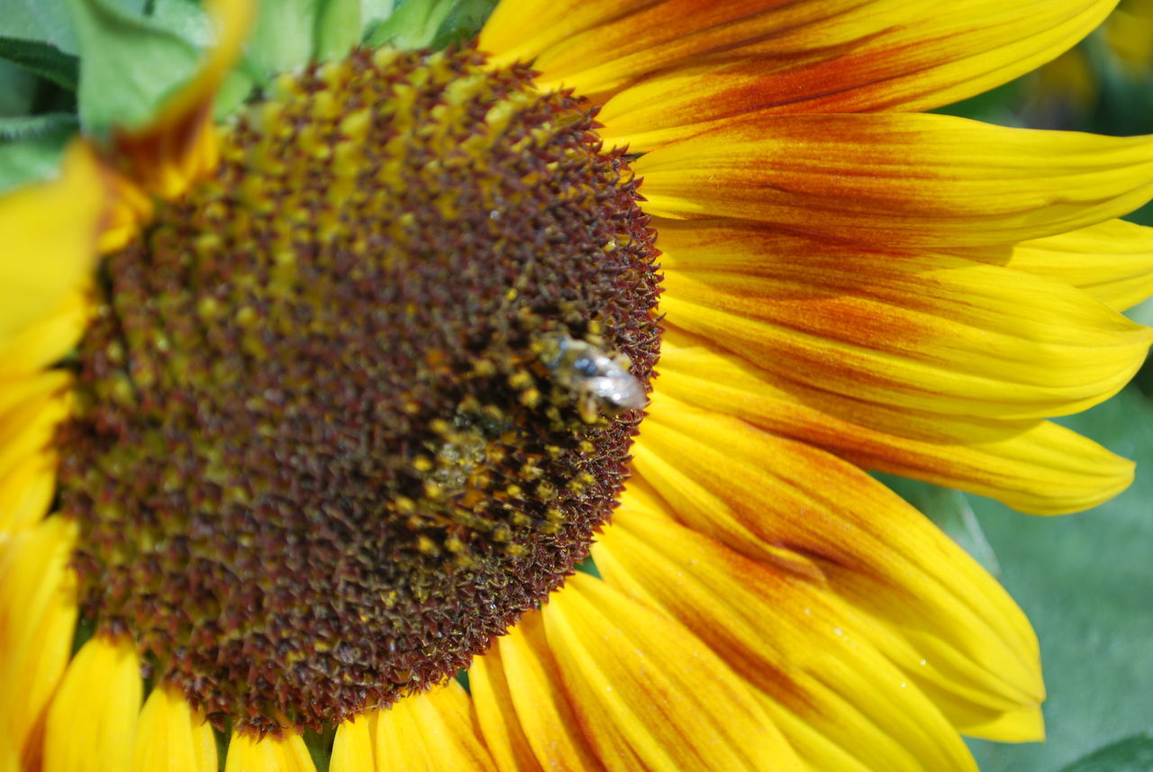 Flower Close-up Beauty In Nature Sunflower Petal Yellow Nature Insect Outdoors