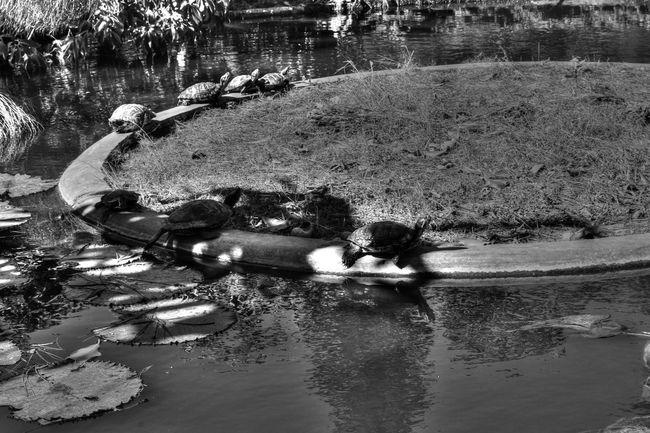 Turtles Lagoon Hanging Out Enjoying Life