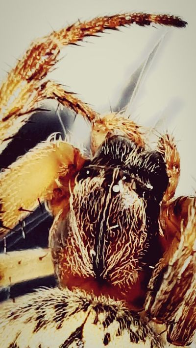 Close-up No People Brown Animal Hair Pets Spider Spider Nature_collection Eyenaturelover Spidersofinstagram Spiders Face Spiders Eyes Spiders Legs Spiders, Maggots, Worms, Frogs, Mice, Parasites Spiders In My Room Spiders Kingdom Spiderworld First Eyeem Photo