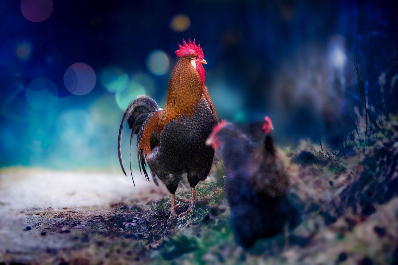 Beautiful stock photos of rooster, Animal Crest, Animal Themes, Bird, Day