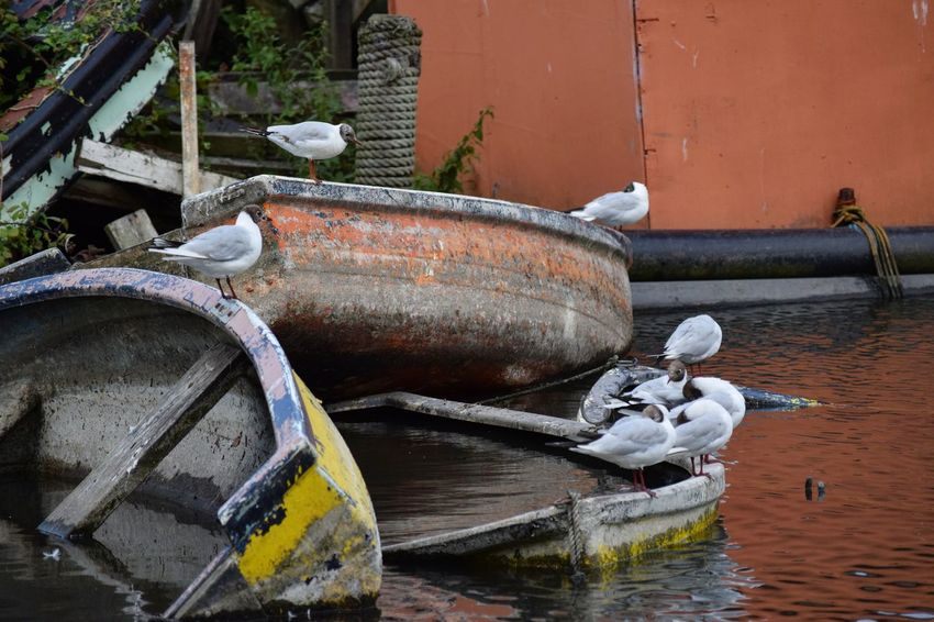 Black Headed Gulls Water Outdoors Nature Summer Wildlife Photography Character Lancing  Rowing Boats Boats Evening Reflection Seagulls Black Headed Gulls Wooden Sunk Brooklands
