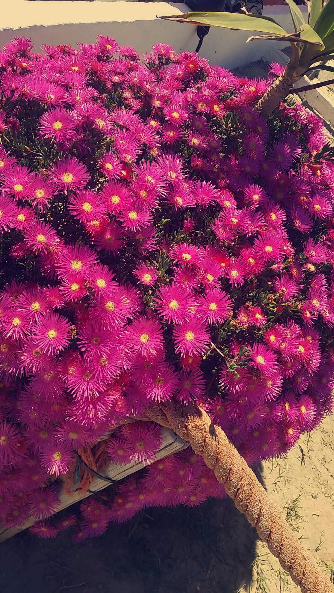Flowerlovers Flowers_collection Pink Pink Flower Flowers,Plants & Garden Flowers Colors Wellow