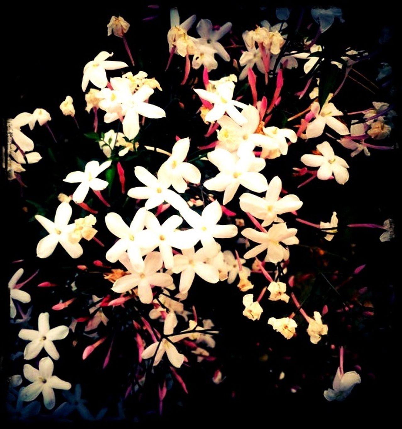 Fragrant Jasmine Sweet Smell White Flowers