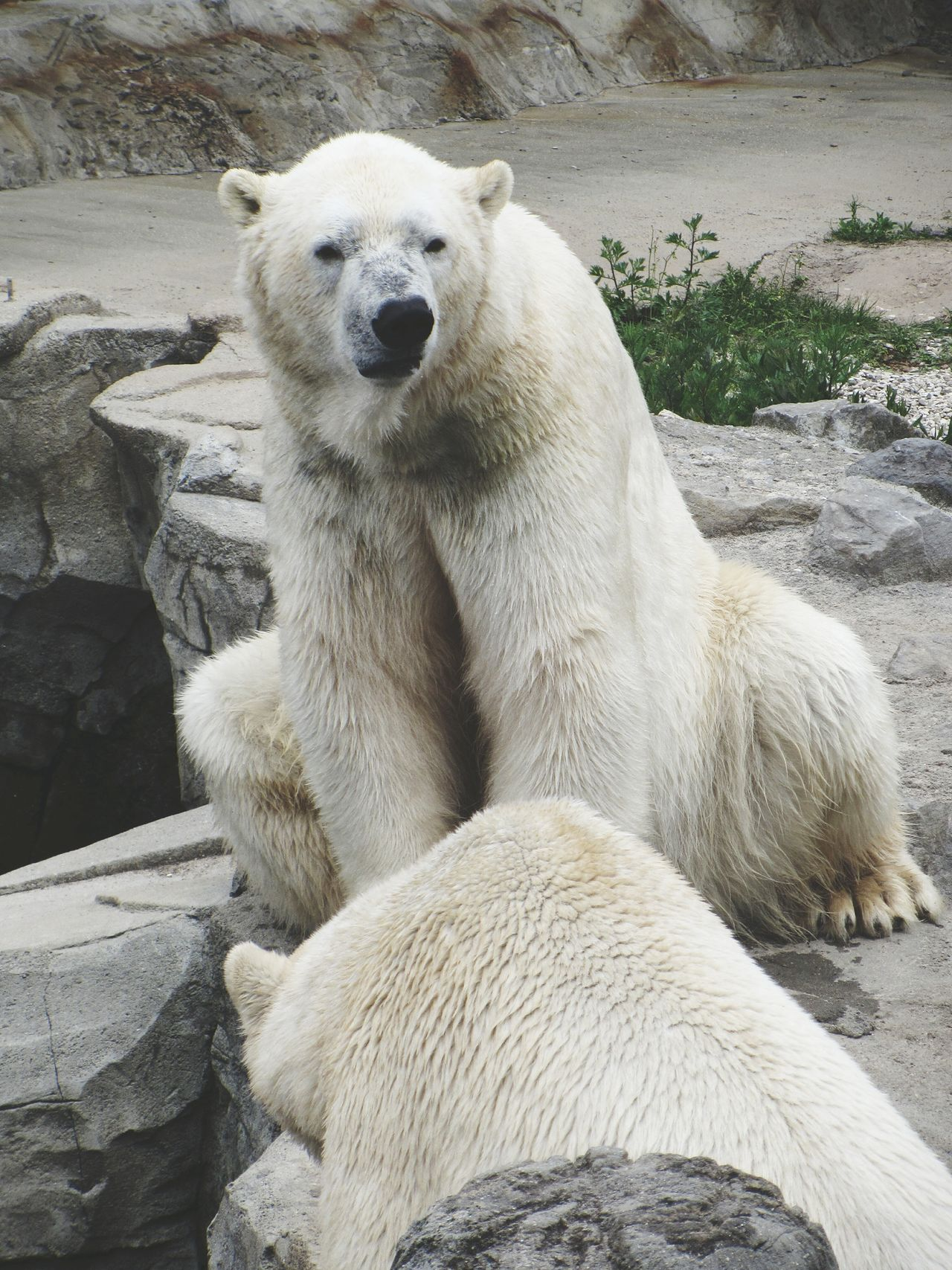 Polar Bear Polar Bears Zoo Taking Photos Zoo Animals  Wild Animal Nature Animal Animals