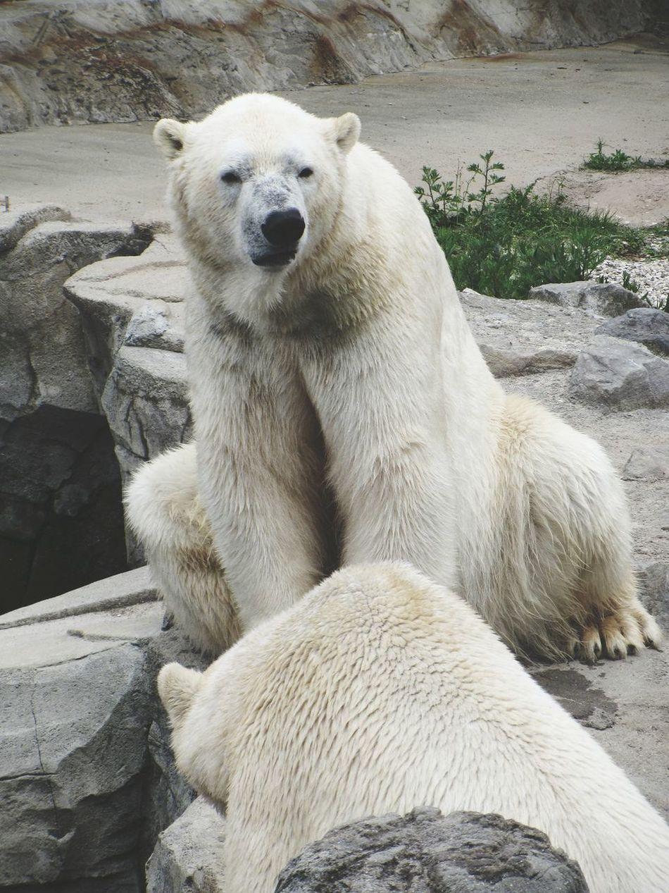 Beautiful stock photos of polar bear, Animal Themes, Animals In The Wild, Cliff, Day