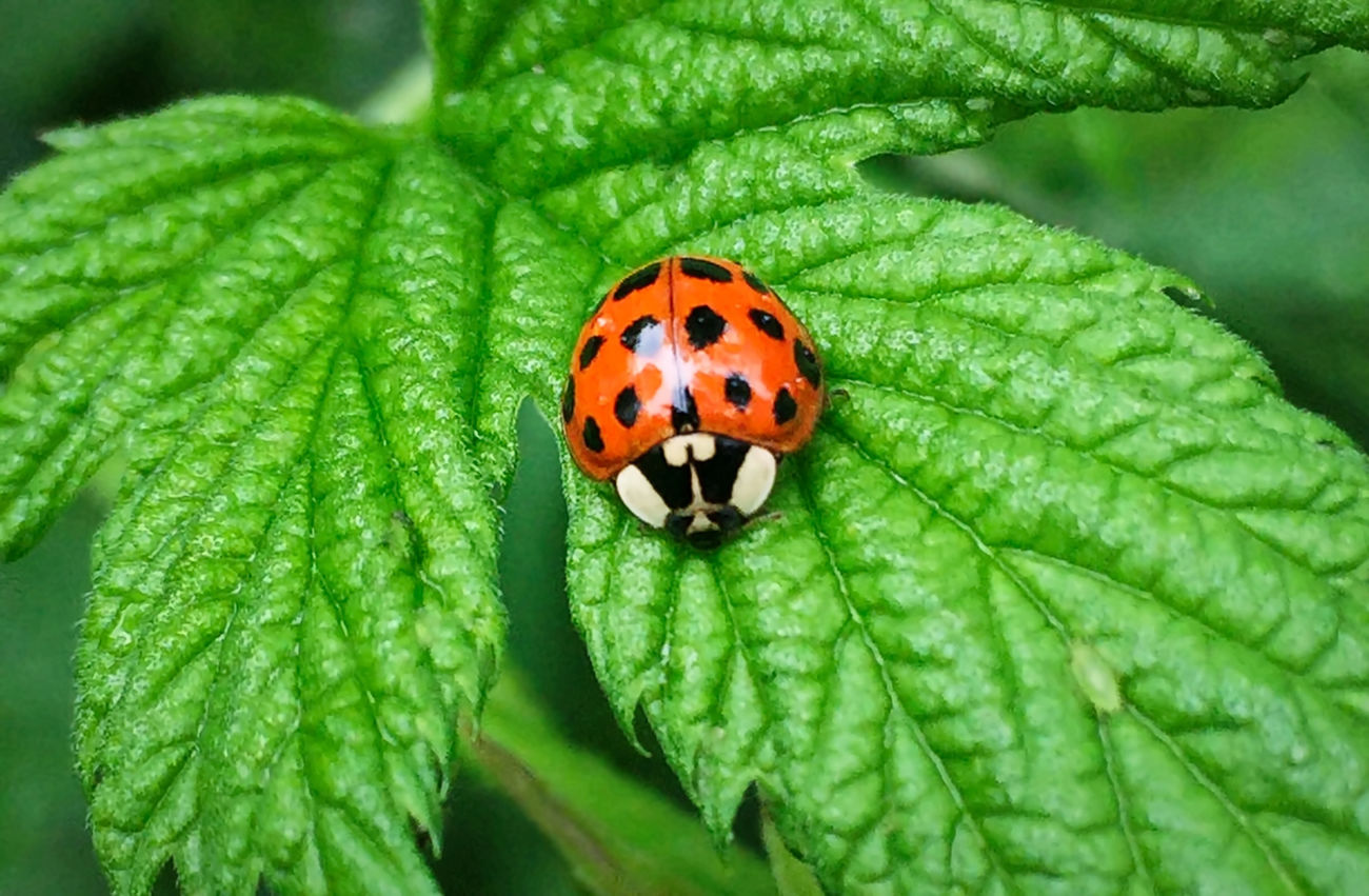 Ladybird Animal Themes Animals In The Wild Beauty In Nature Close-up Day Fragility Freshness Green Color Insect Ladybug Leaf Nature No People One Animal Outdoors