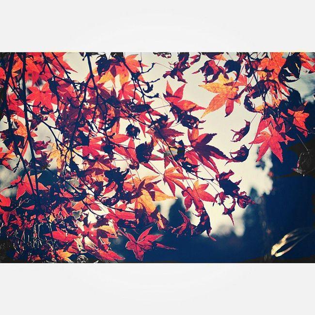紅葉狩り 紅葉 キレイ もみじ 逆光 空 ソラ そら部 夕陽 暇 暇人 肥満児 Imagine Autumnleaves Sun Sunset Sky Foglie Rosso Yellowleaves RedLeaves Fallcolors Nature Red Yellow leavesfallautumnbeautifuljapan