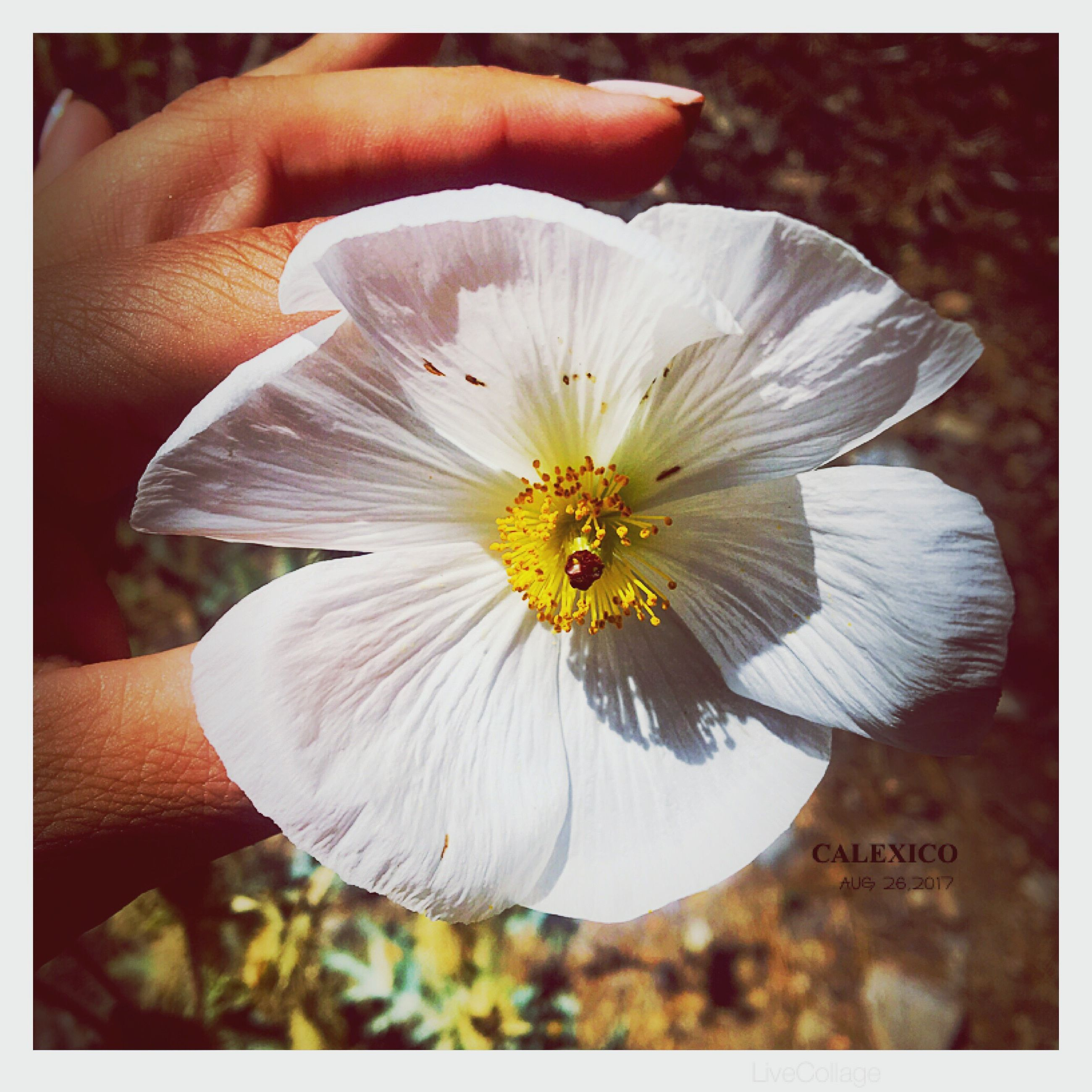 flower, human hand, petal, white color, fragility, flower head, beauty in nature, human body part, freshness, holding, close-up, one person, nature, outdoors, day, real people, people