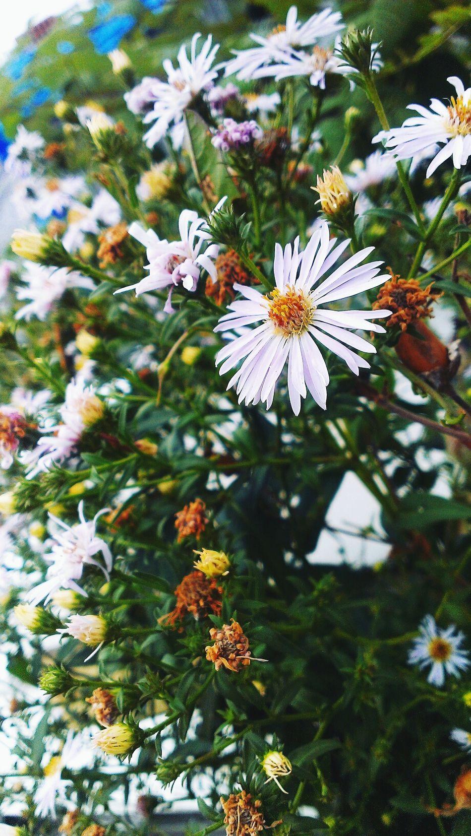 Summer Views Flowers Chamomiles First Eyeem Photo