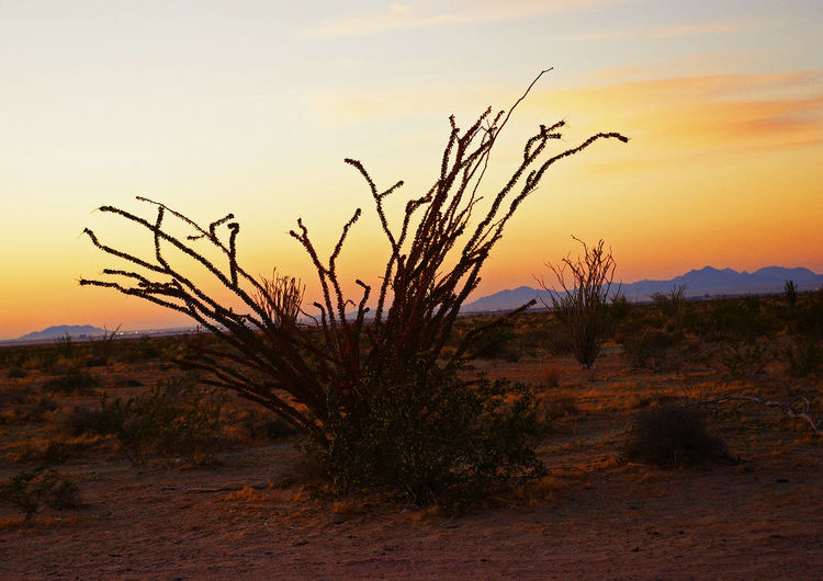 Ocotillo at sunset. Ocotillo EyeEm Nature Lover EyeEmNewHere Yuma Beauty In Nature Day Dead Tree Growth Landscape Nature No People Outdoors Plant Scenics Sky Sunset Tranquil Scene Tranquility Tree Lost In The Landscape Connected By Travel Be. Ready. Perspectives On Nature