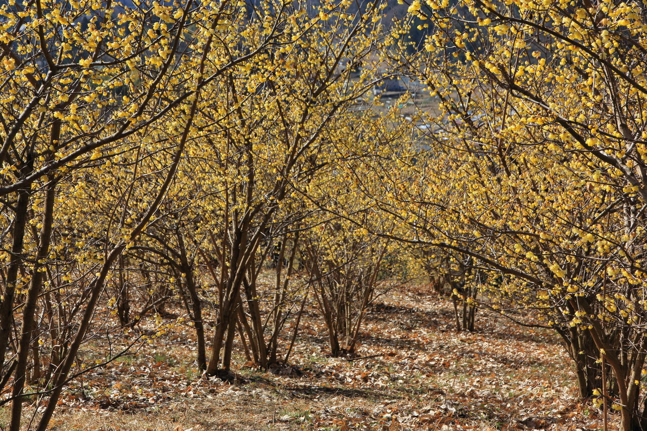Branch Early Spring Fragrant Fragrant Flowers Growth Nature Season  Tranquil Scene Tree Winter Flower  Winter Sweet Yellow Flowers 蝋梅
