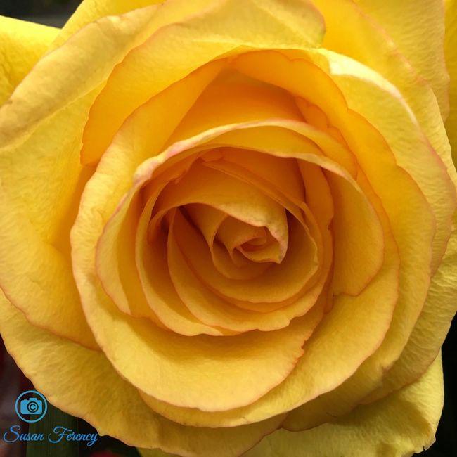 Yellow rose Beauty In Nature Bloom Blossom Flower Flower Head Macro Macro Photography Macro_flower Rose - Flower Single Flower Vibrant Color Yellow Yellow Rose