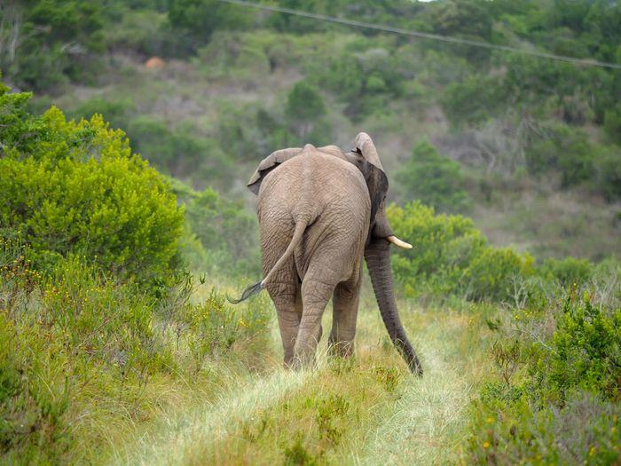 Farewell Elephant Animals In The Wild Nature African Elephant Mammal Landscape Animal Themes Animal Wildlife Grass Young Animal Safari Animals