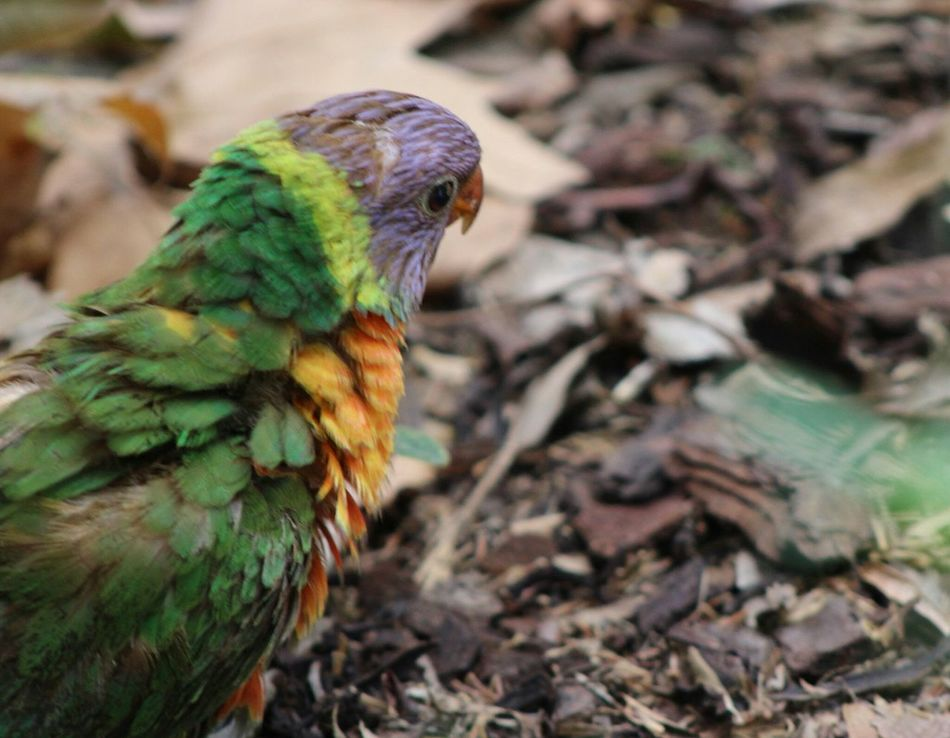 Beautiful stock photos of parrot, Animal Themes, Animals In The Wild, Bird, Close-Up