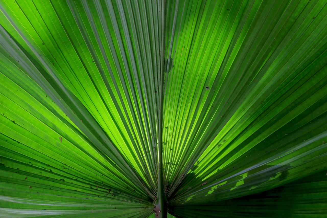 At Chiang mai art and culture museum - Big green leaf Background BIG Close-up Dark Day Fanned Out Focus On Foreground Freshness Green Color Green Leaf Growth Leaf Light And Shadow LINE Nature No People Outdoors Palm Tree Straight Texture Tree