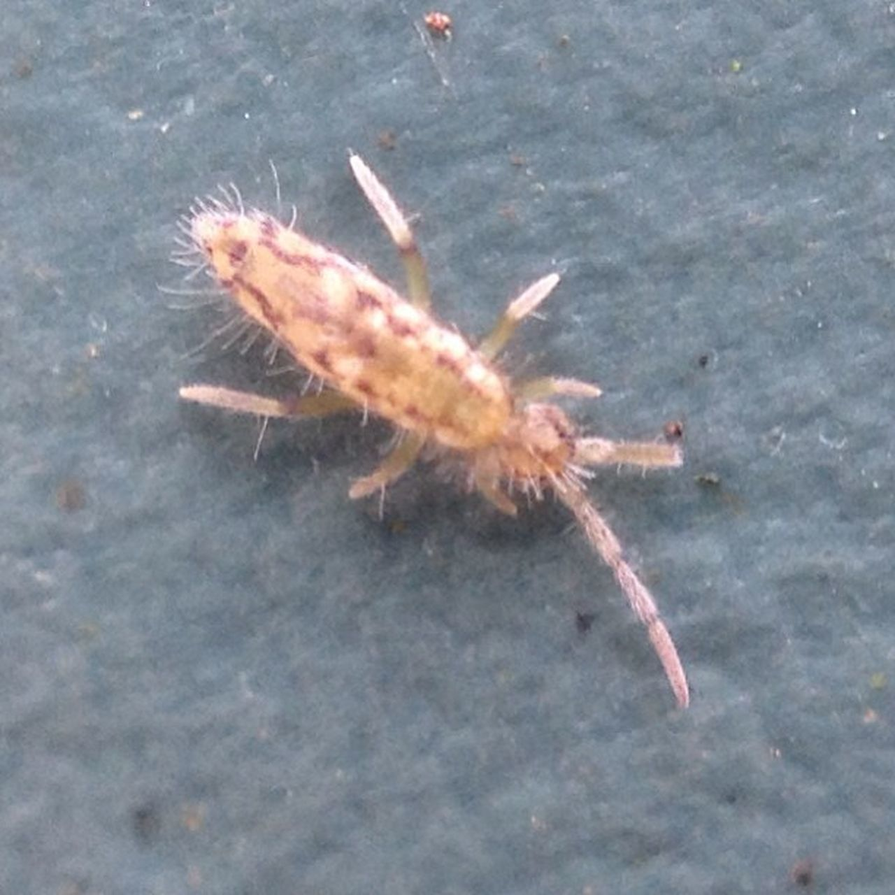 Springtail.. About 2-3mm #insect #improvedimage #springtail #olloclip #tiny #tipn #bug #iphoneography #iphone #4s Improvedimage Springtail IPhone IPhoneography Insect Olloclip Bug Tiny 4s Tipn