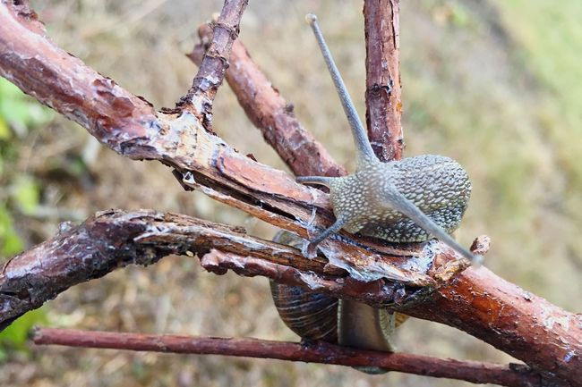 Escargot en équilibre Close-up Branch Tree Nature Snail🐌 Snails Snail Snail Closeup Snailtrail Fragility Escargot Escargots Escargots🐌 Gros Plan