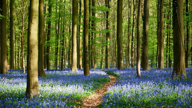 Footpath in the Bois de Hal - Abundance Beauty In Nature Bluebells Flower Forest Green Growth Hallerbos Idyllic Landscape Nature Scenics Tree Tree Trunk Wood WoodLand The Great Outdoors With Adobe