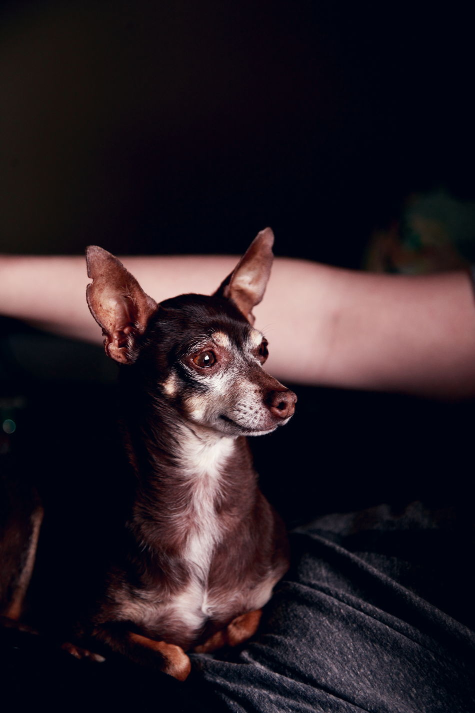 Our rescue dog, Marley. We love him very much. He is our baby. Adorable Alertness Animal Themes Chihuahua Cute Pets Dog Family Indoors  Little Love Loyalty One Animal Pets Portrait Rescue Sitting