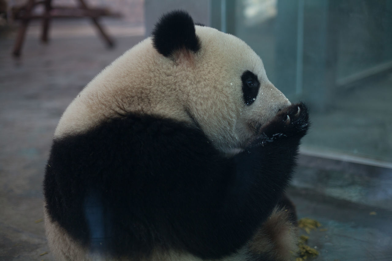 Beautiful stock photos of panda, Animal Themes, Animals In The Wild, Black, Day