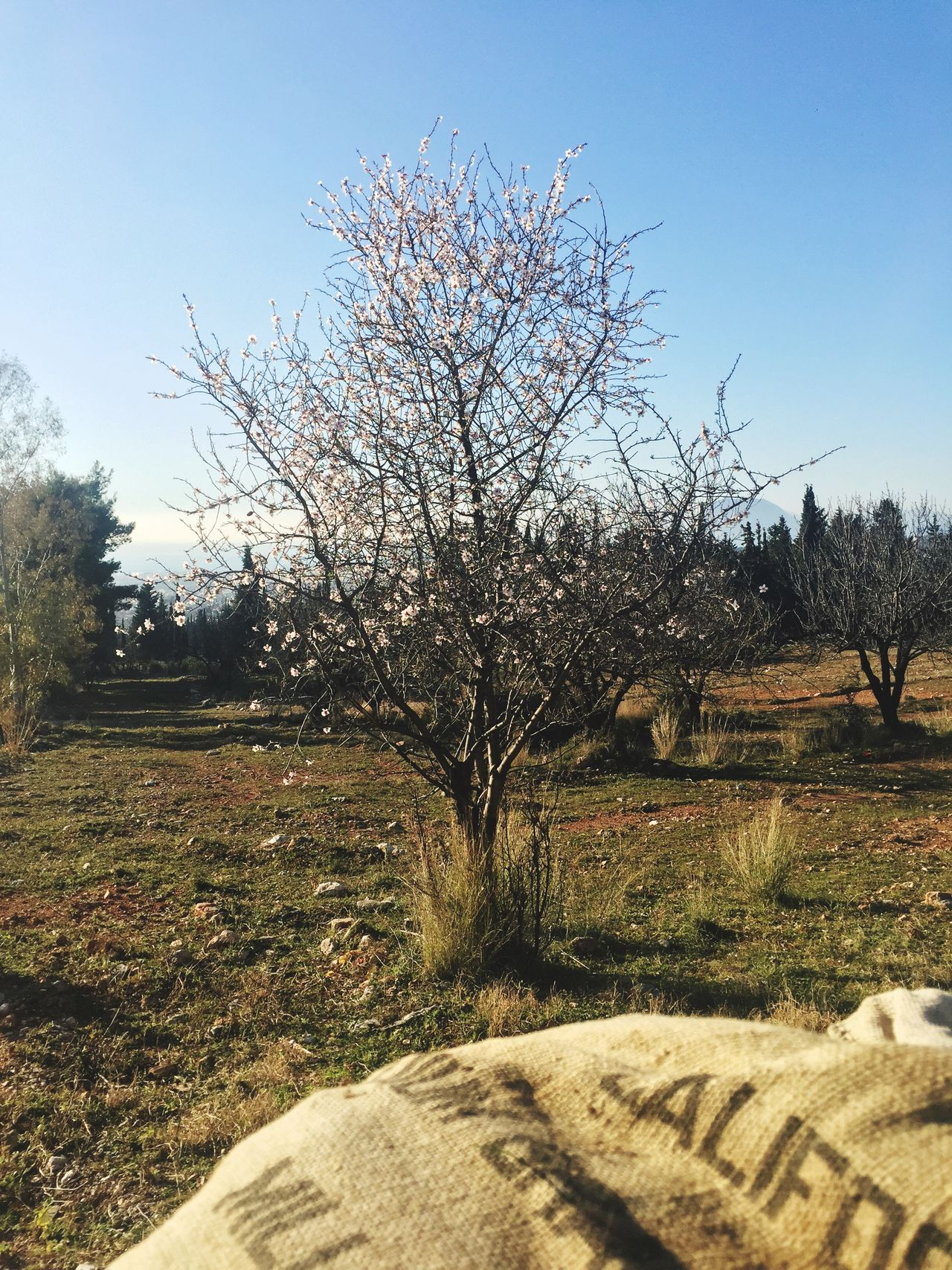 Sunny Day ☀ Almond Tree Spring Has Arrived