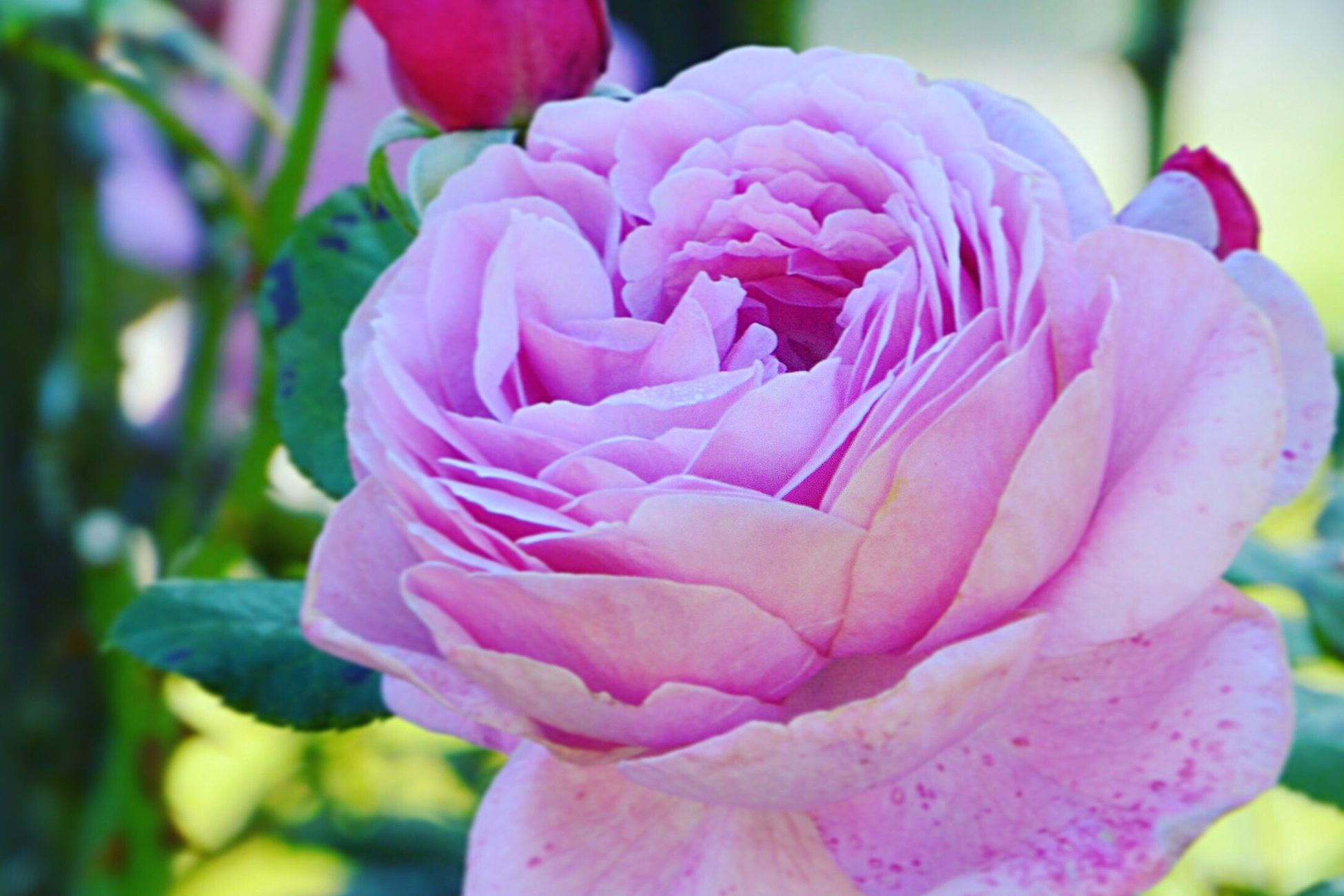 Flower Petal Fragility Beauty In Nature Flower Head Freshness Nature Pink Color Growth Close-up Plant No People Blooming Day Outdoors Rosengarten Rosengarten Rose♥ Lieblingsblume
