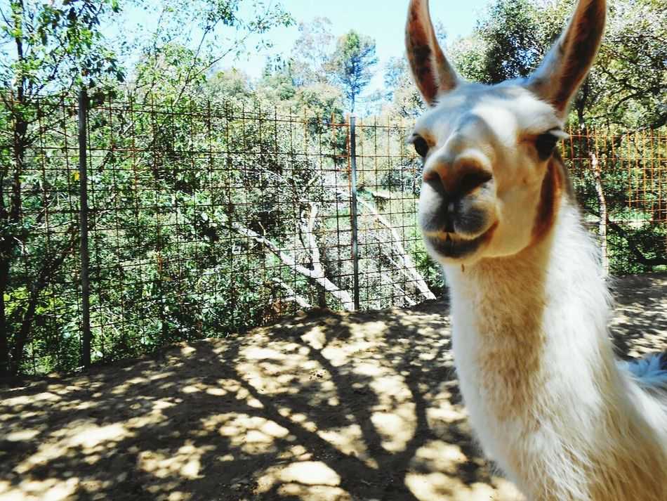 Beautiful stock photos of llama, Animal Themes, Day, Domestic Animals, Farm