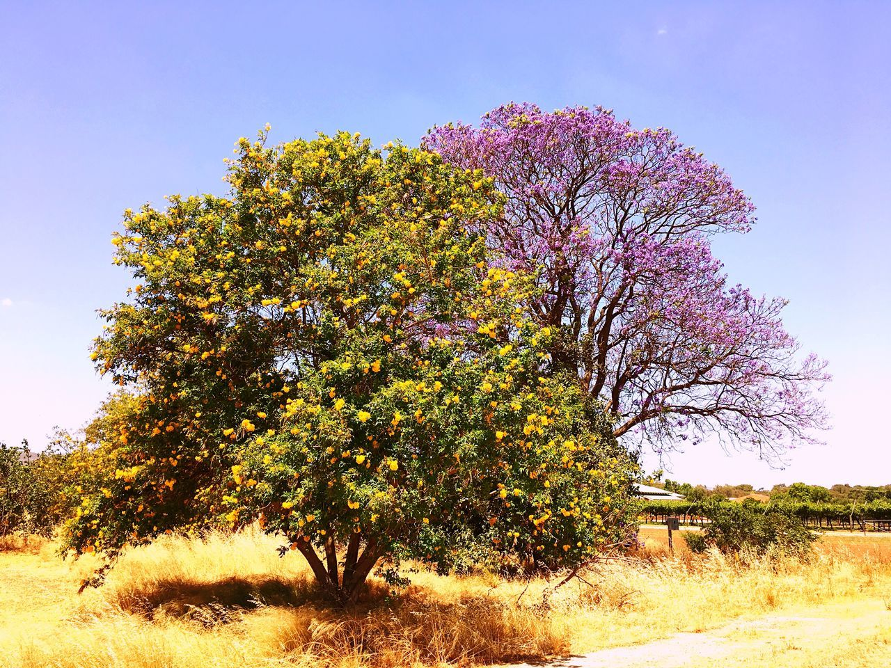 Beauty In Nature Tree Growth Nature No People Outdoors Freshness Scenics Sky Flower Day Fragility Contrast Nature_collection Nature Eyemphotography Eyem Best Shots Beauty In Nature Australia Jacaranda Colours Of Nature Blooming EyeEm Nature Photography Tree