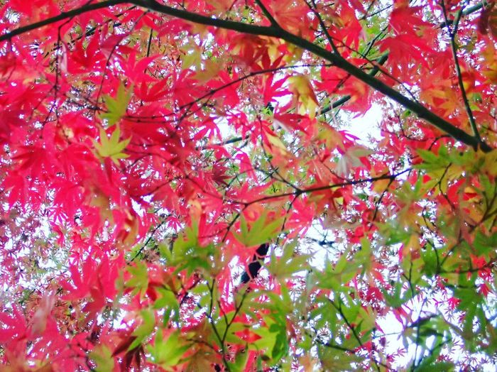 Beauty In Nature Beautiful Colors Autumn Nature Leaf Tree Maple Beautiful Contrast Leaves Maple Tree I Love Earth Green Beauty Of Nature Beauty Of Earth Red Yellow Oume City Japan