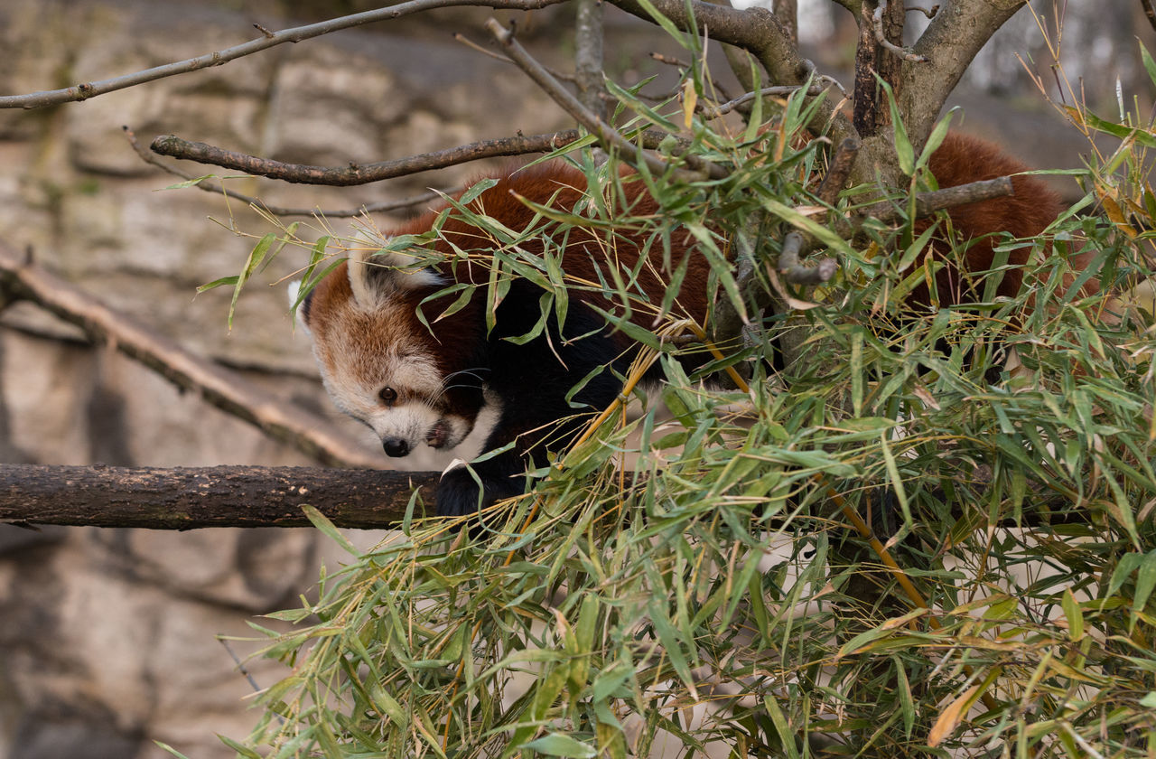 Animal Themes Day Nature No People Outdoors Red Panda Zoo