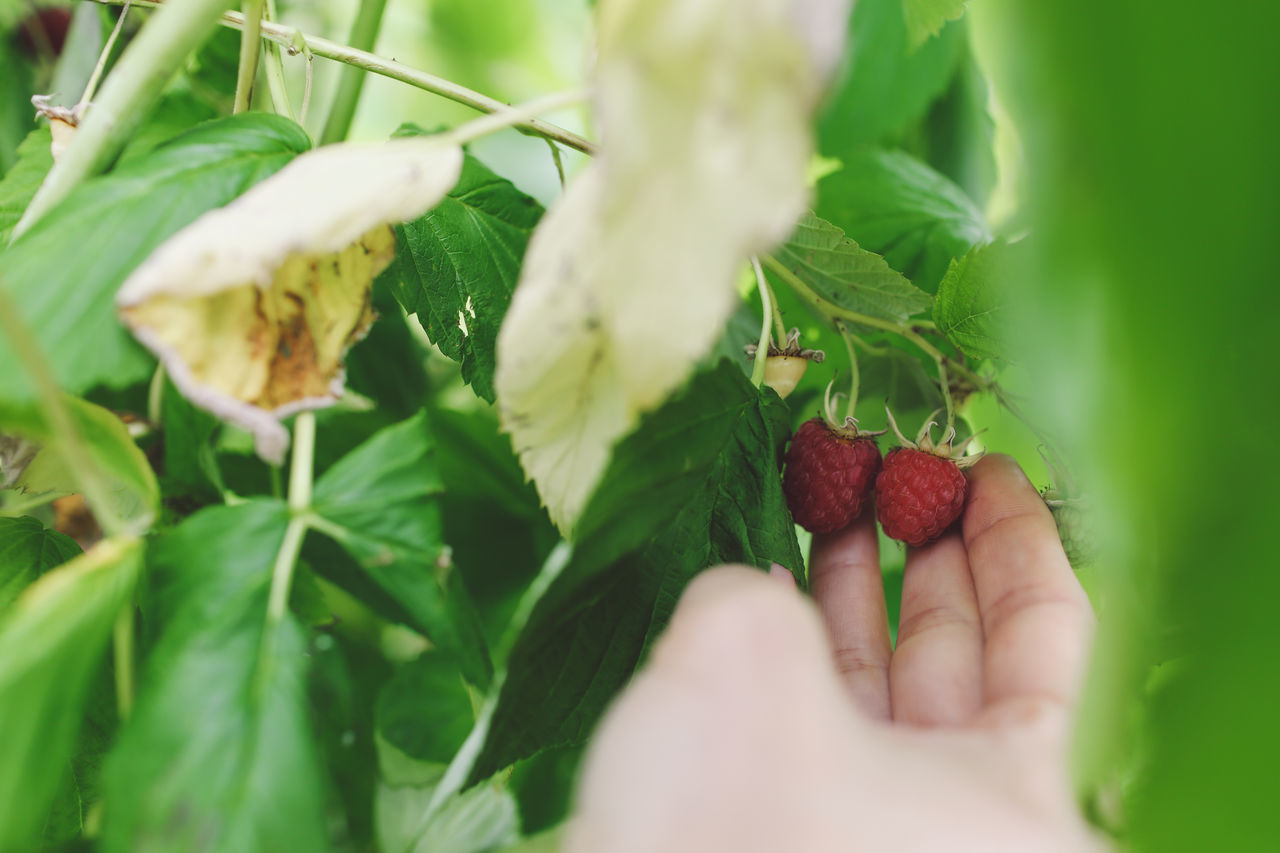 Close-up Cropped Focus On Foreground Food Freshness Green Color Growth Hand Holding Leaf Two Is Better Than One Nature Organic Part Of Person Personal Perspective Picking Picking Berries Plant Raspberries Raspberry Red Ripe Selective Focus Unrecognizable Person