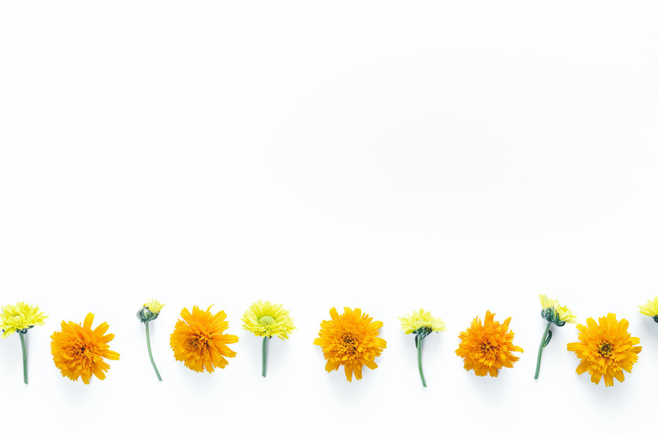 flower, white background, freshness, fragility, copy space, studio shot, yellow, no people, flower head, beauty in nature, petal, nature, close-up, plant, springtime, day, outdoors