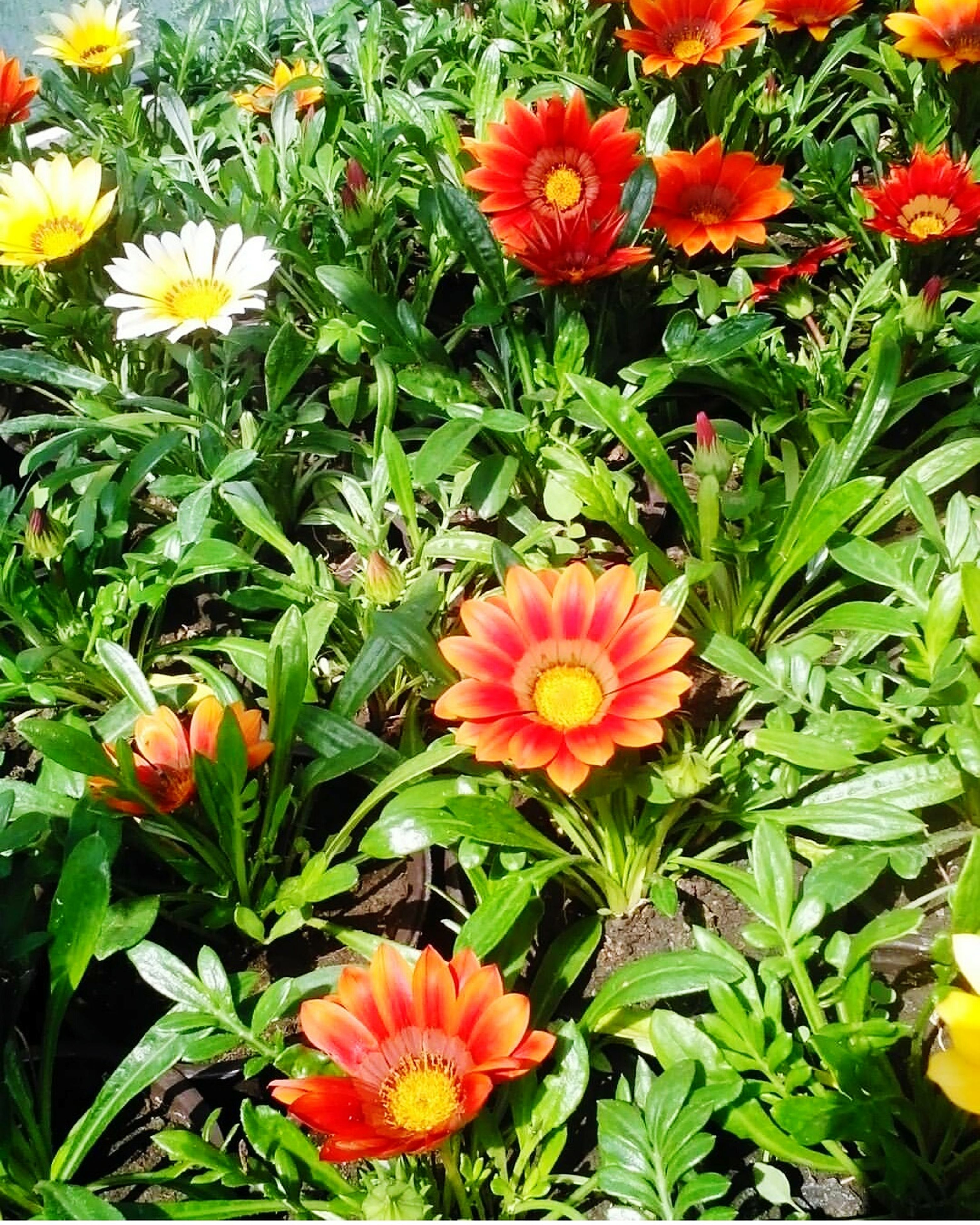 flower, growth, fragility, nature, plant, beauty in nature, flower head, petal, freshness, blooming, outdoors, green color, leaf, day, no people, gazania, high angle view, springtime, red, zinnia, flowerbed, close-up