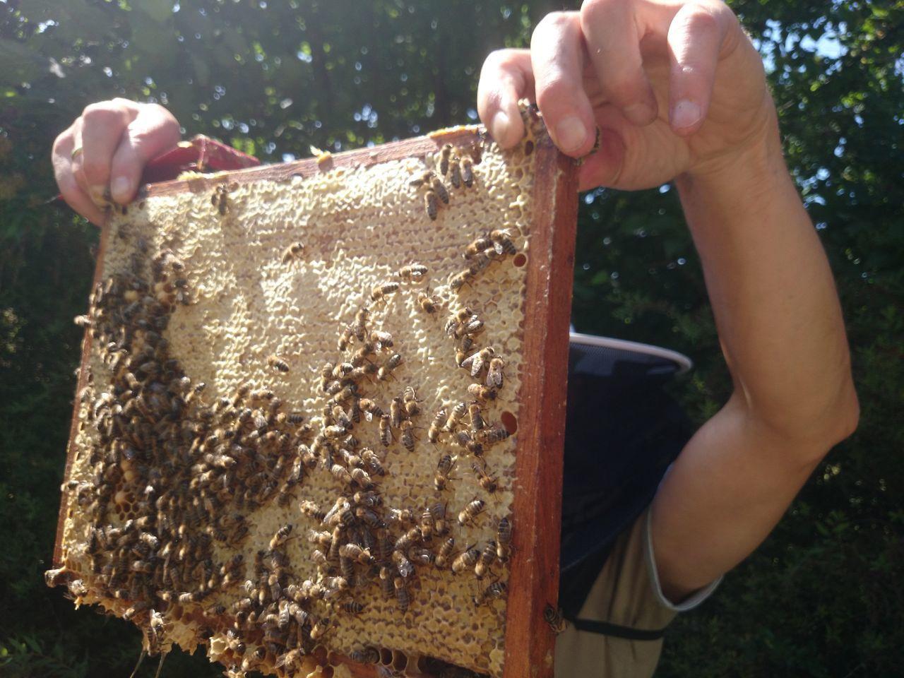 Beautiful stock photos of bee, Apiarist, Bee, Beehive, Beekeeper