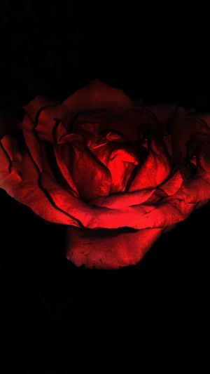 Beautiful rose Red Red Rose 🌹 RedRose🌹 RedRose♥ Redrose  Redrose 🌷🌷🌷 Rose🌹 Rose♥ Black Beautiful ♥ Beautifulrose Black And Red Flower Black And Red Black And Red Colour Red And Black Colour RedBlack Blackred