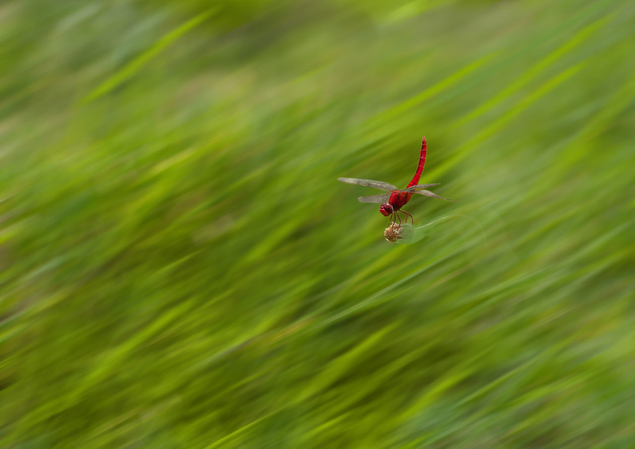 Dragonfly Animal Themes Animal Wildlife Animals In The Wild Beauty In Nature Close-up Day Fragility Gragonfly Insect Motion Nature No People One Animal Outdoors Spider Web Spread Wings