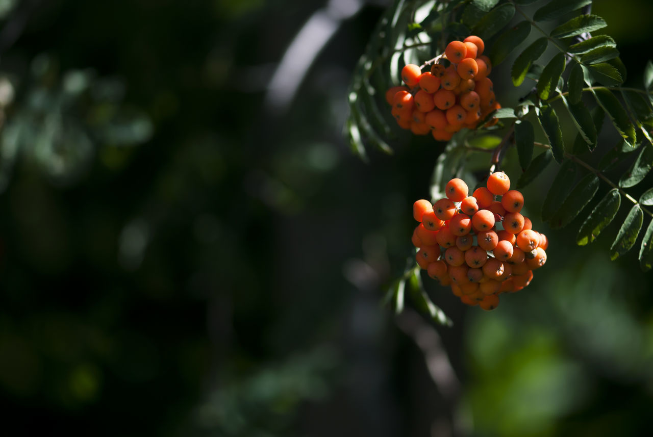 Orange hawthorn berries ripen on a tree branch in later summer. Autumn Beauty In Nature Berries Berry Botanical Branch Closeup Colorful Copy Space Fall Freshness Fruit Garden Green Color Growth Hawthorn Nature No People Orange Outdoors Plant Ripe Summer Tree Tree